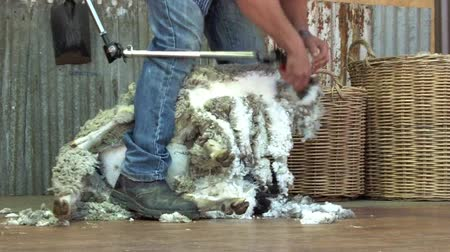 koyun : QUEENSLAND, AUS - NOV 04 2014:Australian Sheep shearer during work in Queensland, Australia.Australia have mainly Merinos Wool. Each year over 150 million sheep are shorn by the shearers in Australia.