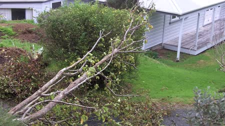 tempestade : MANGONUI, NZL - JULY 09 2014: Storm damaged tree.High winds lashing the upper North Island of New Zealand have knocked down trees, blown roofs off houses and cut power to thousands.