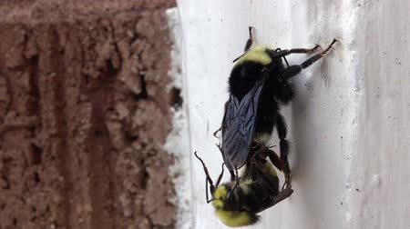 королева : Bumble bee mating with a Drone male bee on a white wall.