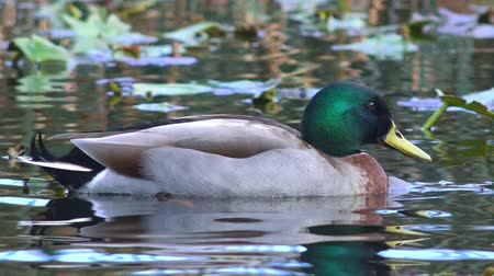duck : Male Mallard wild duck swim in a pond in New Zealand. Stock Footage