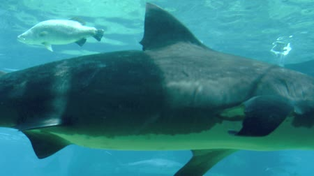 vida marinha : GOLD COAST, AUS -  NOV 06 2014:Bull shark in Sea World Gold Coast Australia.Its known for its aggressive nature, predilection for warm shallow water and presence in freshwater estuaries and rivers.