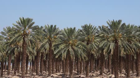 vaha : Plantation of palm trees at Ein Gedi in the Dead Sea area, Israel.