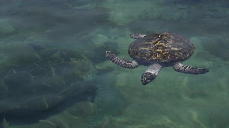 aqaba : EILAT, ISR - APRIL 14 2015:Green sea turtle in the Underwater Observatory Marine Park in Eilat, Israel.It is the only Marine Park in the world which managed to breed this species in captivity.