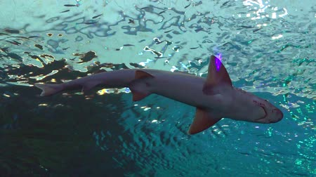 aqaba : Reef sharks swim in the Shark Pool of Coral World Underwater Observatory aquarium in Eilat, Israel. Stock Footage