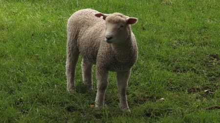 nzl : One Merino sheep lamb in the paddock New Zealand