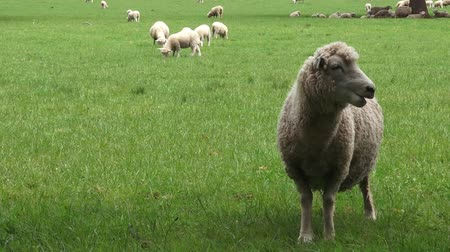 wełna : Merino sheep in the paddock New Zealand Wideo