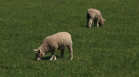 nzl : Two Merino sheep lamb in the paddock New  Zealand Stock Footage