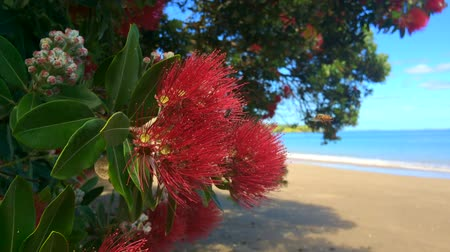 nzl : Pohutukawa red flowers blossom on the month of December over a sandy beach with a small fishing boat doubtless bay New Zealand. Stock Footage