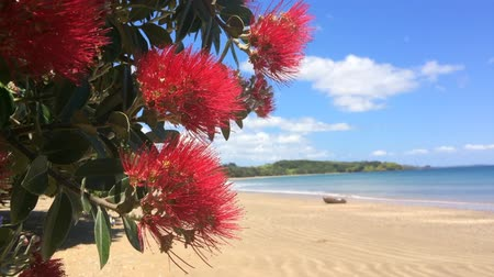 к северу : Pohutukawa red flowers blossom on the month of December over a sandy beach with a small fishing boat doubtless bay New Zealand. Стоковые видеозаписи