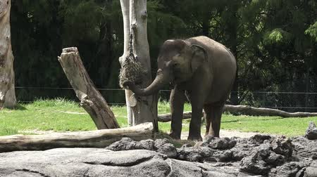 indicus : Young Indian Elephant Elephas maximus indicus eat food. Elephants have the biggest ears and  the longest nose of any animal in the world.The Asian elephant is endangered animal