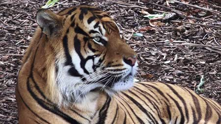 kaplan : Sumatran tiger Panthera tigris sumatrae portrait. Unlike most cats, tigers are keen swimmers; they also use water as a way of cooling off. Stok Video