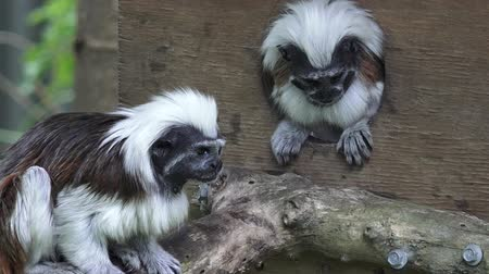 tamarin : Two Cotton-top Tamarins Saguinus oedipus. Live in the tropical rain forest of Colombia, It one of the smallest primates and it critically endangered animal.