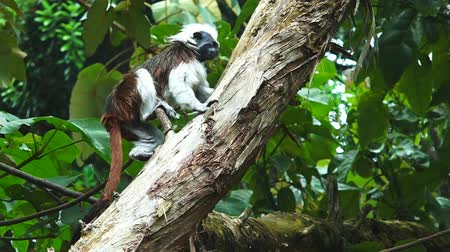 kolombiya : Cotton-top Tamarin Saguinus oedipus climb on a tree. Live in the tropical rain forest of Colombia, It one of the smallest primates and it critically endangered animal.