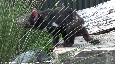 szatan : Tasmanian devil. Endangered animal found in the wild only on the Australian island state of Tasmania. Wideo