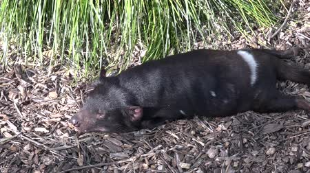 szatan : Tasmanian devil sleep.  Endangered animal found in the wild only on the Australian island state of Tasmania. Wideo