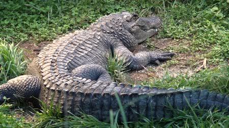 alligator mississippiensis : American alligator, a large crocodilian reptile endemic to the southeastern United States and the official state reptile of: Florida, Louisiana, and Mississippi.