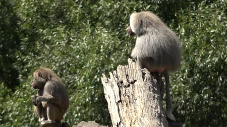 male animal : Male and female Hamadryas baboon sit on a tree logs, native to the Horn of Africa and the southwestern tip of the Arabian Peninsula.