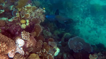 barriers : Humphead wrasse  fish  swim in the coral sea at the Great Barrier Reef in the tropical north of Queensland, Australia. Stock Footage