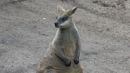 wallaby : Agile wallaby in Queensland, Australia Stock Footage