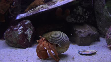 краб : Hermit crab walks underwater
