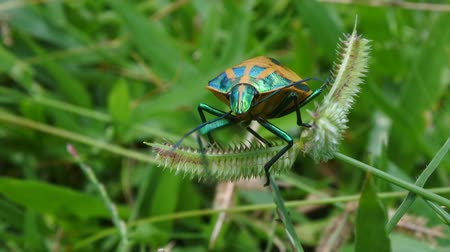 melanesia : A male Hibiscus Harlequin Bug on a grass leaves. It lives in Northern and Eastern Australia, New Guinea and several Pacific Islands in habitats ranging from urban to agricultural and coastal areas.