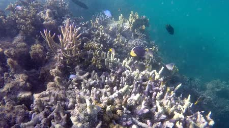 melanesia : Tropical fish swim in coral reef in Fiji island Stock Footage