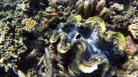 melanesia : Giant clam (Tridacna gigas) underwater in Fiji.Tridacna gigas is one of the most endangered clam species. Stock Footage