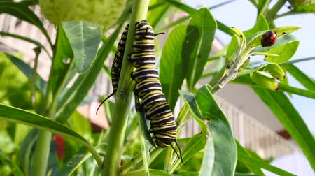 tiger butterfly : Monarch butterfly caterpillar Insect eats swan plant. Wildlife and nature background. copy space