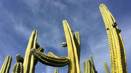 pipe organ : Organpipe cactus (Stenocereus thurberi) is a species of cactus native to Mexico and the United States. Stock Footage