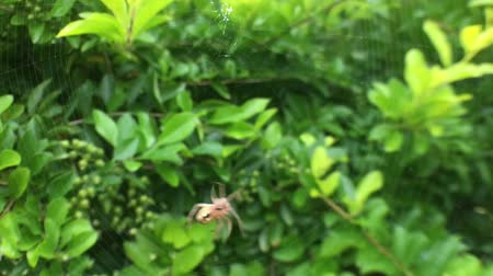éretlen : Juvenile Huntsman Spider spinning a web on a plant in Rarotonga, Cook Islands.