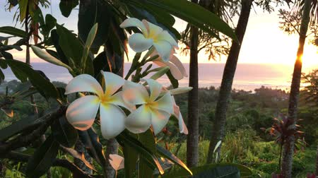 rosa sinensis : Plumeria flowers at sunset grows in Rarotonga, Cook Islands. Nature background. Copy space Stock Footage