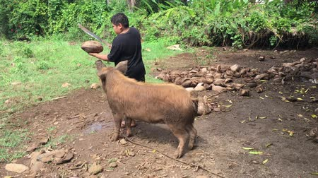 cook islanders : Cook Islander farmer feeds a domestic pig in Rarotonga, Cook Islands.The pigs introduced to the locals when European explorers arrived to the Islands. Stock Footage