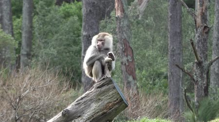baboon : Male Hamadryas baboon sits on a tree trunk and cleans himself.