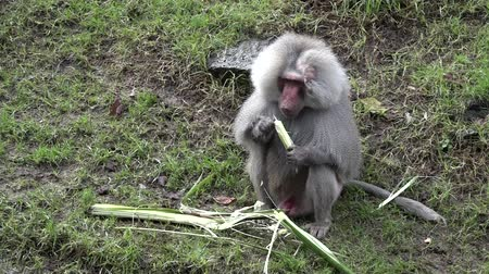 baboon : Male Hamadryas baboon eating a banana tree leaf on a river bank.