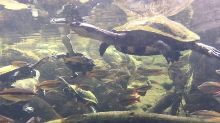 long necked : Snake-necked turtles swimming in fresh waters with fish in Queensland, Australia. Stock Footage