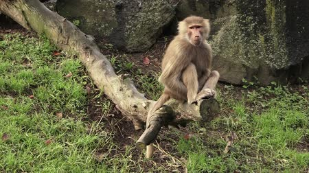 baboon : Female Hamadryas baboon sits on a tree log. Stock Footage