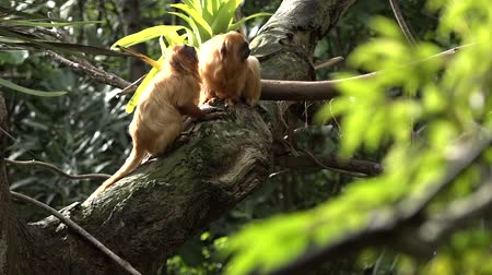 tamarin : Two Golden Lion Tamarin Primate social grooming on a tree in a rain forest. Native to the Atlantic coastal forests of Brazil, the Golden Lion Tamarin is an endangered species