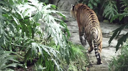 panter : Sumatran tiger walks in a Jungle. Sumatran tiger is endangered animal primarily due to conversion for palm oil and pulp plantations as Sumatra Island has lost 85 percent of its forests in the last half-century. Stok Video