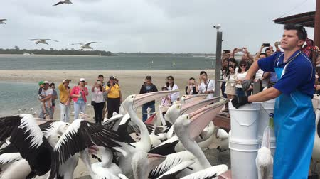 Pelican feeding frenzy at Labrador Gold Coast , Australia.Pelicans are the largest flying bird in Australia. Stock mozgókép