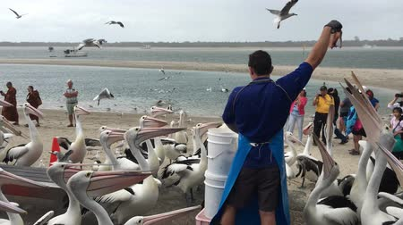 druh : Pelican feeding frenzy at Labrador Gold Coast , Australia.Pelicans are the largest flying bird in Australia. Dostupné videozáznamy