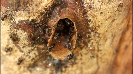 apiary : Stingless bee entering of beehive