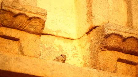 jump away : Indian Squirrel sitting on temple wall