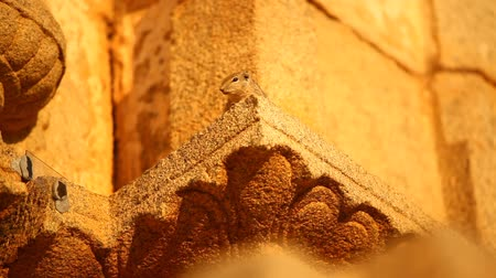 indian squirrel : Indian Squirrel sitting on temple wall