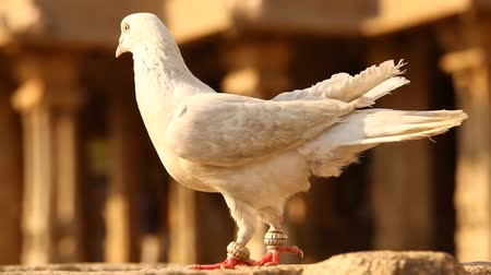 rock dove : white Pigeon on the Temple wall