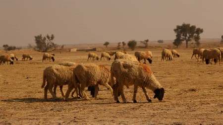 desert life : Sheeps at desert