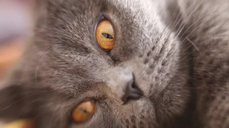 prowl : British cats nose close-up