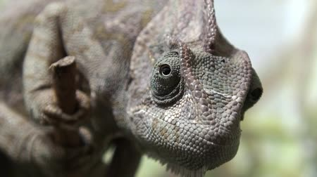 yemen : Chameleon video , Chameleon Yemen moving eyes