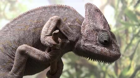 yemen : Chameleon video , Chameleon Yemen on the tree Stock Footage