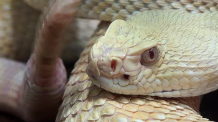 sonaja : Sonajero serpiente movin cola extremadamente cerca Archivo de Video