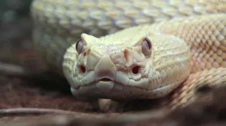 pullu : Rattlesnake moving tongue, extremly close up video Stok Video